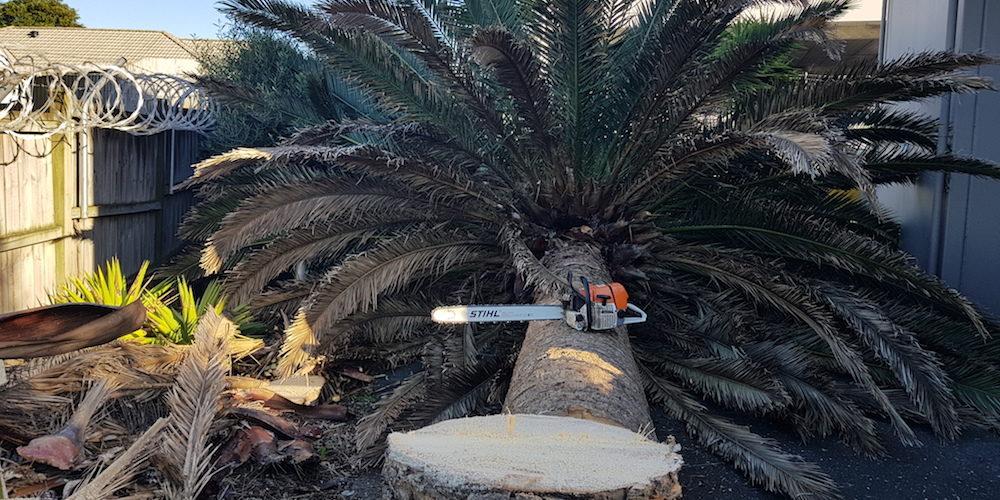 phoenix palm removal