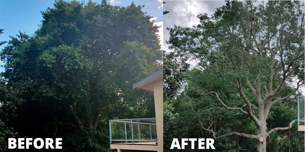 Trimming an oak tree